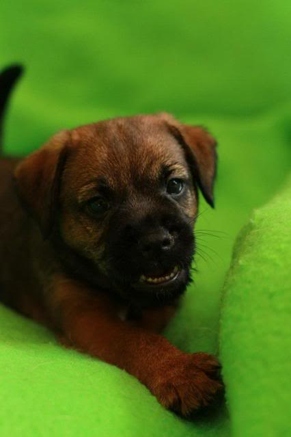 Border Terrier X pups, ready in 2 weeks, rehoming in Kent only. Boris_zpsf71e4dbe
