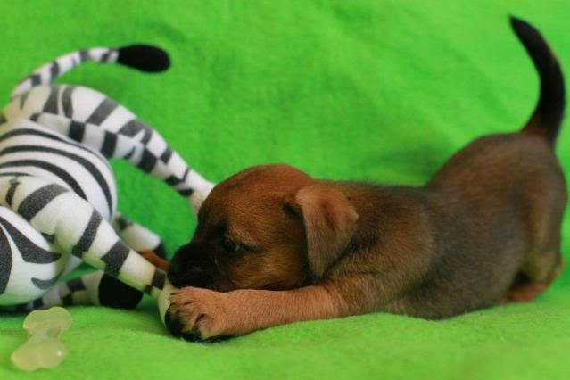 Border Terrier X pups, ready in 2 weeks, rehoming in Kent only. Layla_zps863203d2