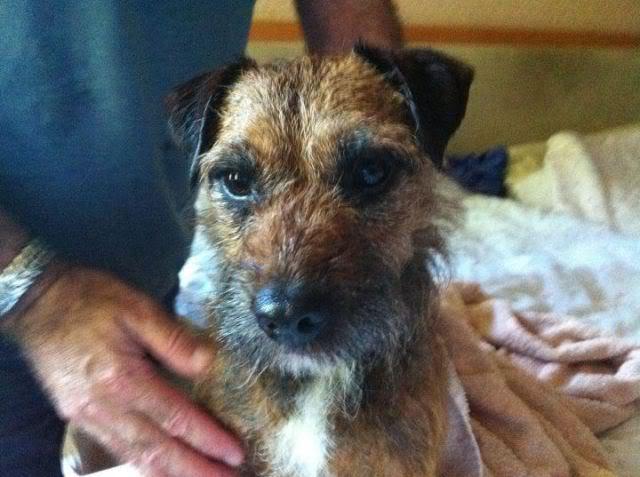 Border Terrier X pups, ready in 2 weeks, rehoming in Kent only. Lottie1_zps47c4ea24