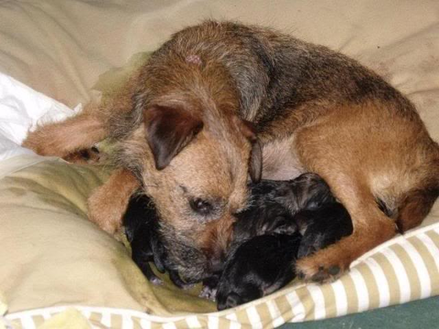 Border Terrier X pups, ready in 2 weeks, rehoming in Kent only. Lottie4_zps60a7eac8
