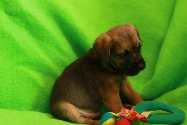 Border Terrier X pups, ready in 2 weeks, rehoming in Kent only. Louis_zpsdd784f43