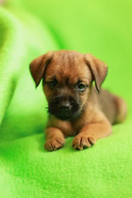 Border Terrier X pups, ready in 2 weeks, rehoming in Kent only. Mikey_zps93af489b