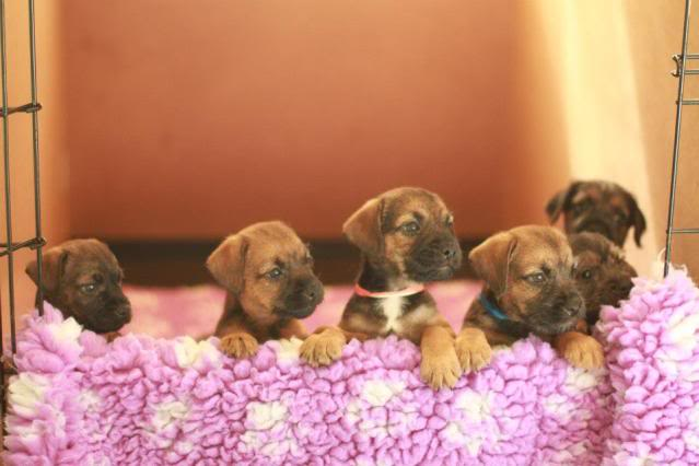 Border Terrier X pups, ready in 2 weeks, rehoming in Kent only. Mix_zpsae38d421