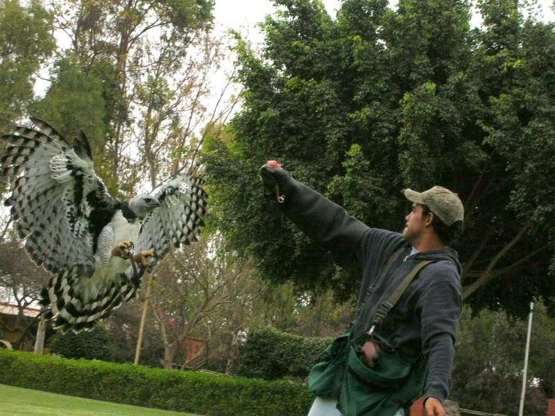 Comparação do tamanho de águias  com relação ao homem. Harpia4