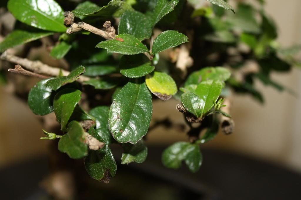 Carmona: duda sobre hojas y sustrato IMG_5119_zpsda39982d