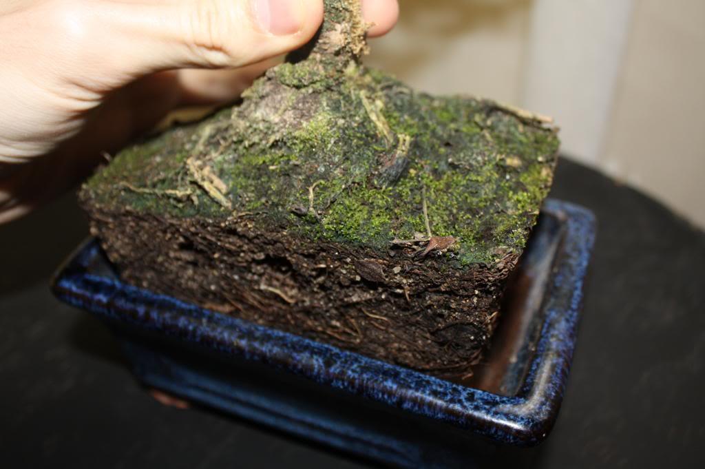 Carmona: duda sobre hojas y sustrato IMG_5121_zpsc24bccfb