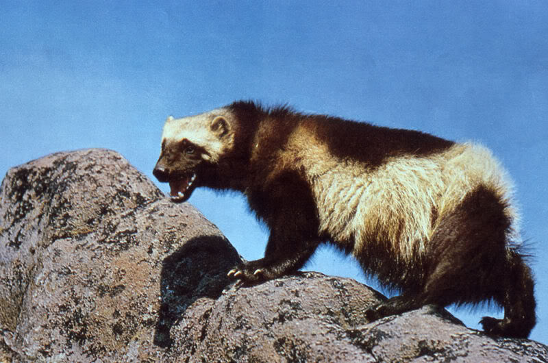 Mojo 2012 WOLVERINE Wolverine