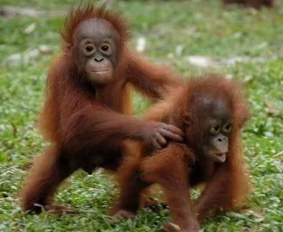 Baby urangutan and some new dogs Baby-orangutan