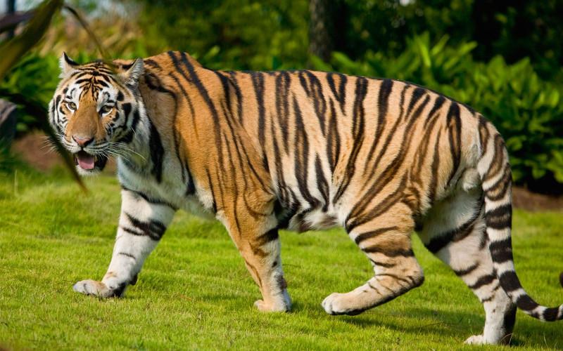 Repainting a TIGER in ``Kosta`s style`` :D - Page 5 8800263-bengal-tiger_zpsjixqq0kj