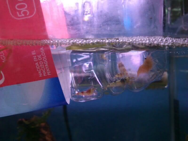 habitantes de mi nuevo acuario-gambario IMG-20120124-WA0003