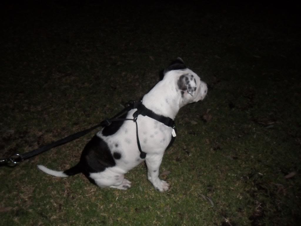 sporn dog harness for Winston 008-4