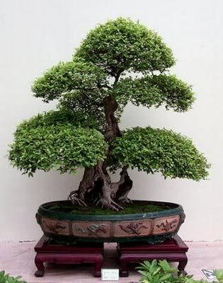 Artículo: Bonsai, Introducción al Mundo de lo pequeño Bonsai