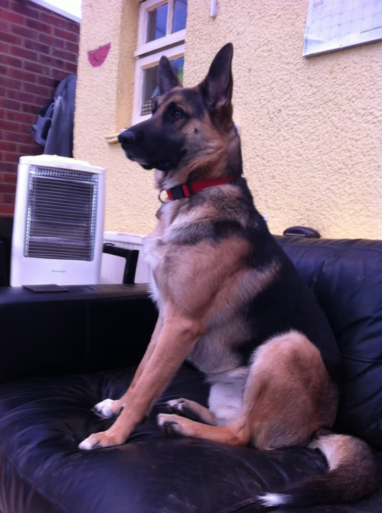 Rio 1 year old male GSD; Urgent rehoming needed! E6eb2df5