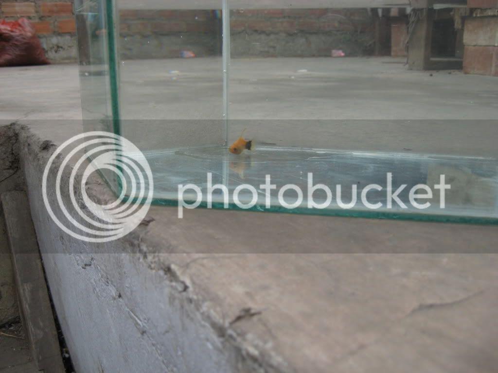 My platy hembra lira mickey  IMG_2303