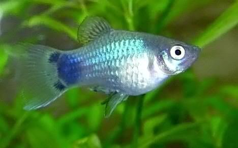 variedades platys  / juan luis Blue_mm_platy
