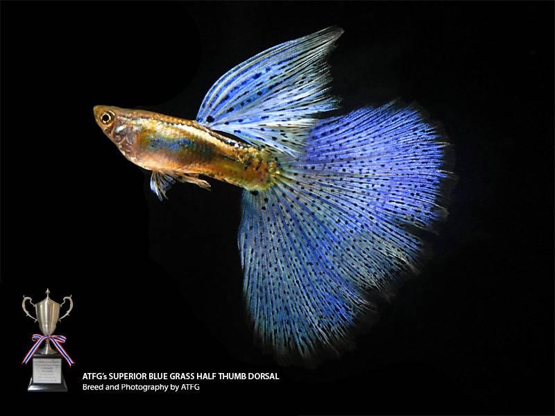variedades guppy-by-JLUIS BlueGrass