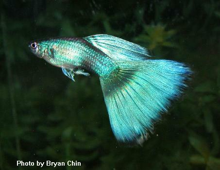 variedades guppy-by-JLUIS GreenMoscow_