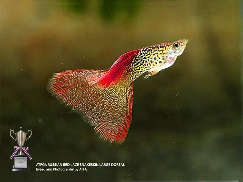 variedades guppy-by-JLUIS RedLaceSnakeSkin