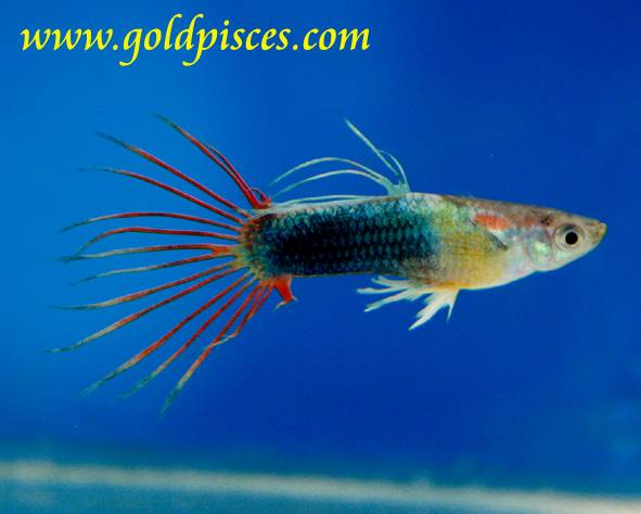 variedades guppy-by-JLUIS Crowntail