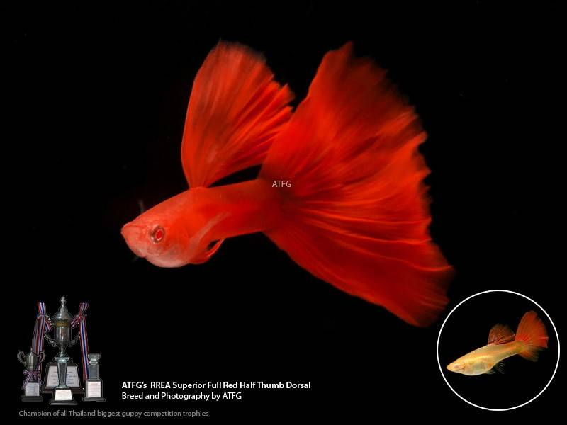 variedades guppy-by-JLUIS Rrea_full_red_