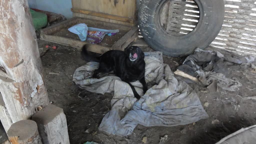 Baloo, mâle, né en 2008, type labrador  DSC05413