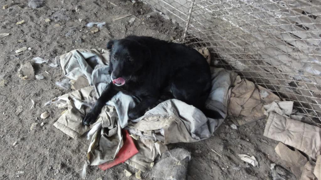 Baloo, mâle, né en 2008, type labrador  DSC05418