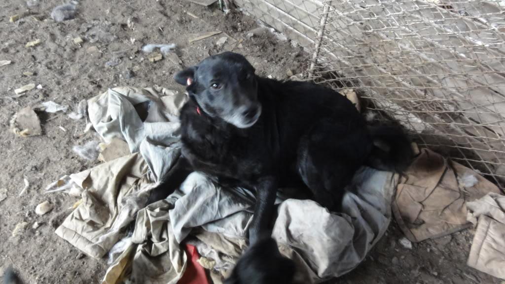Baloo, mâle, né en 2008, type labrador  DSC05419