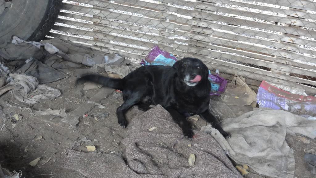 Baloo, mâle, né en 2008, type labrador  DSC05425