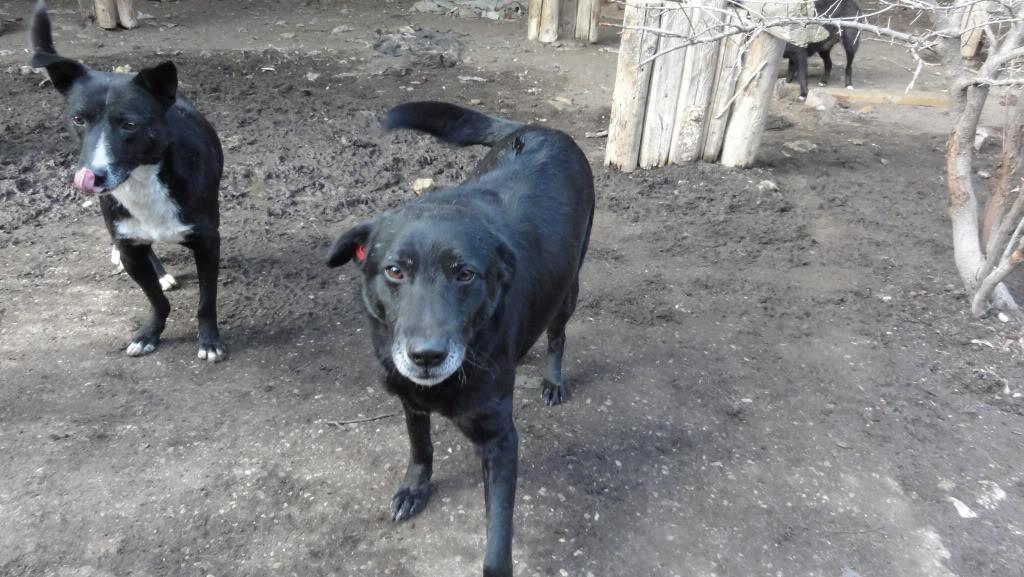 Baloo, mâle, né en 2008, type labrador  DSC05539