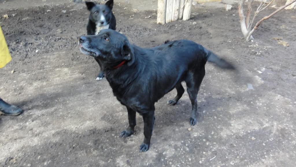 Baloo, mâle, né en 2008, type labrador  DSC05540