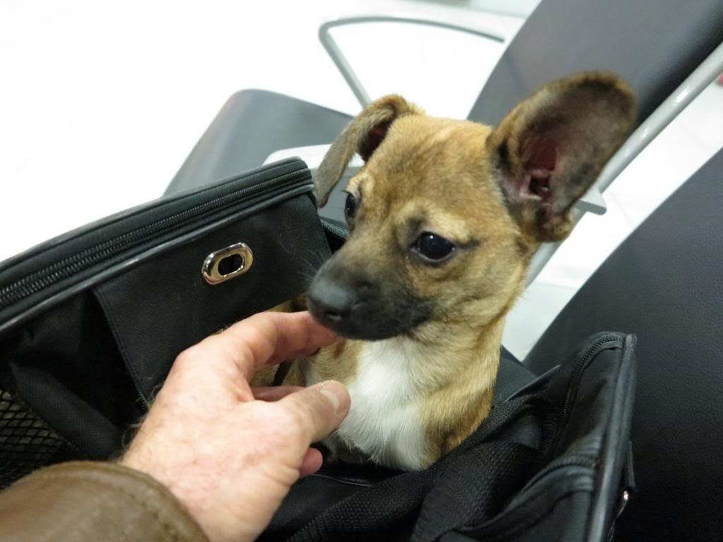 Betty, mini chien, soeur de Dixie IMG_5012