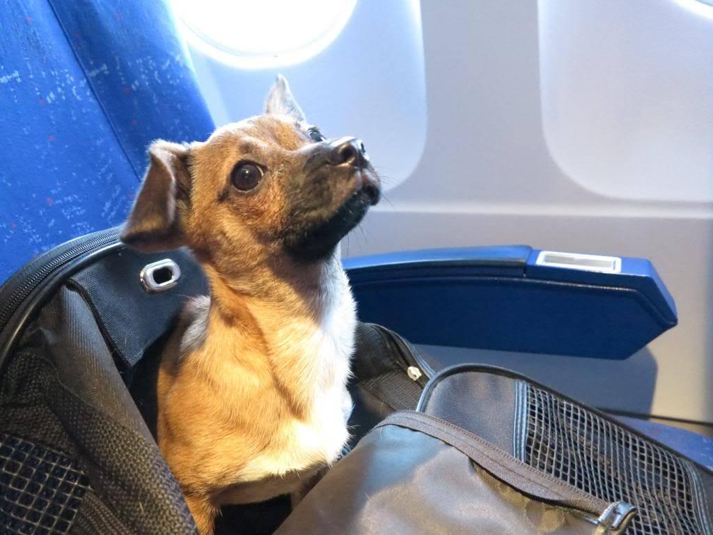 Betty, mini chien, soeur de Dixie IMG_5017