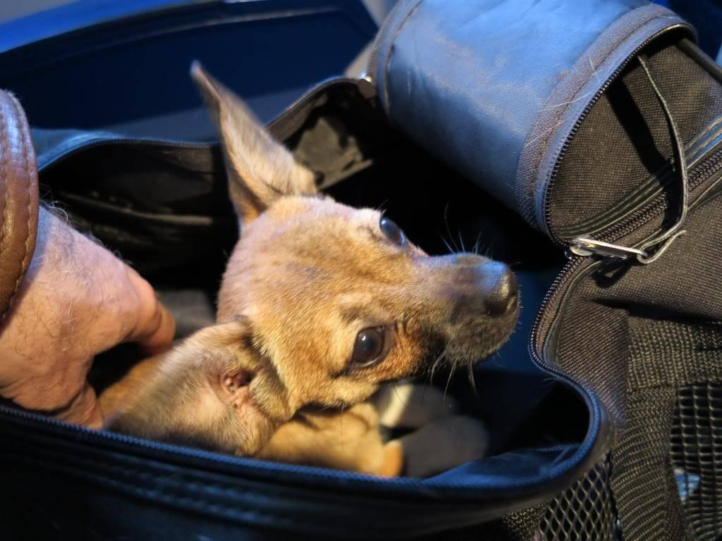Betty, mini chien, soeur de Dixie IMG_5020