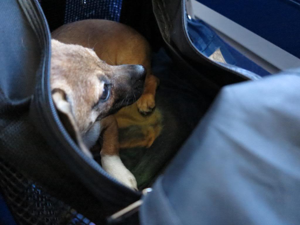 Betty, mini chien, soeur de Dixie IMG_5022