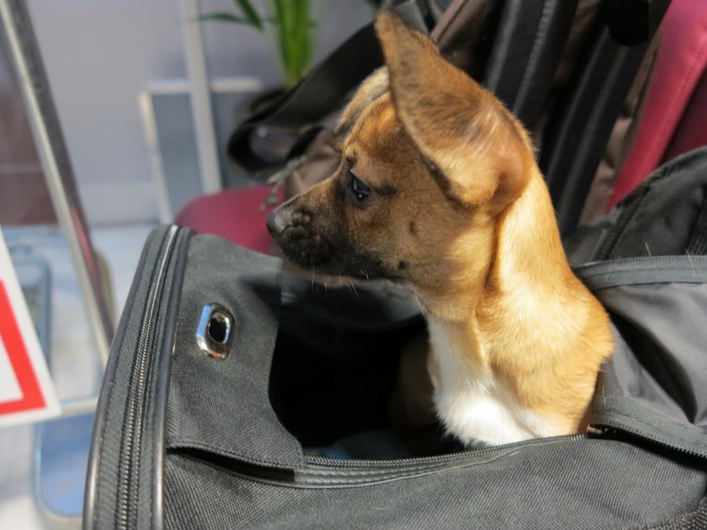 Betty, mini chien, soeur de Dixie IMG_5024