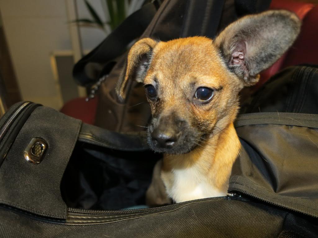 Betty, mini chien, soeur de Dixie IMG_5025