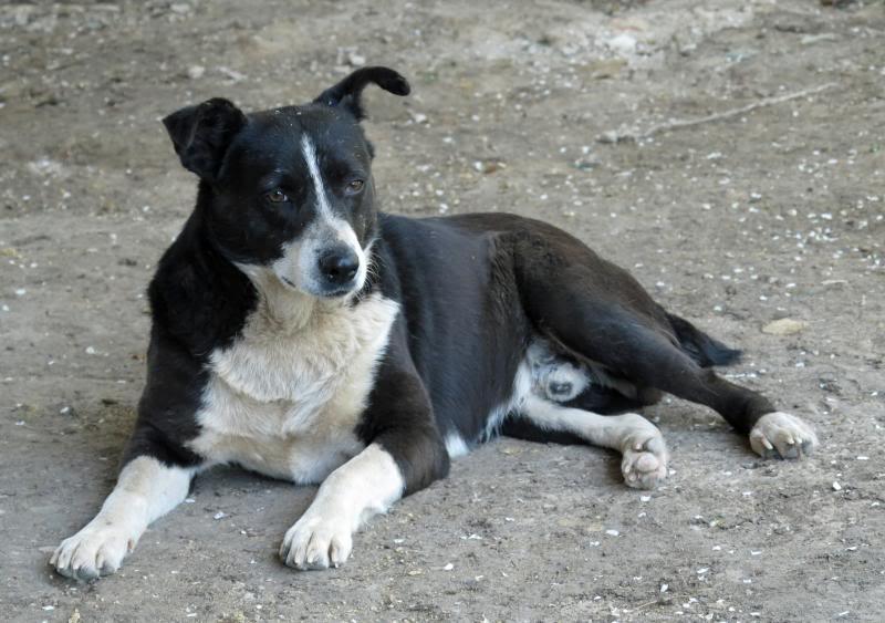 Elios, mâle, type Border Collie, né en 2009 IMG_5893