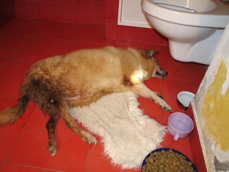 Fetitza, vieille chienne paralysée des membres inférieurs IMG_0133
