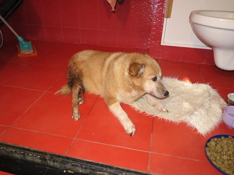 Fetitza, vieille chienne paralysée des membres inférieurs IMG_0138