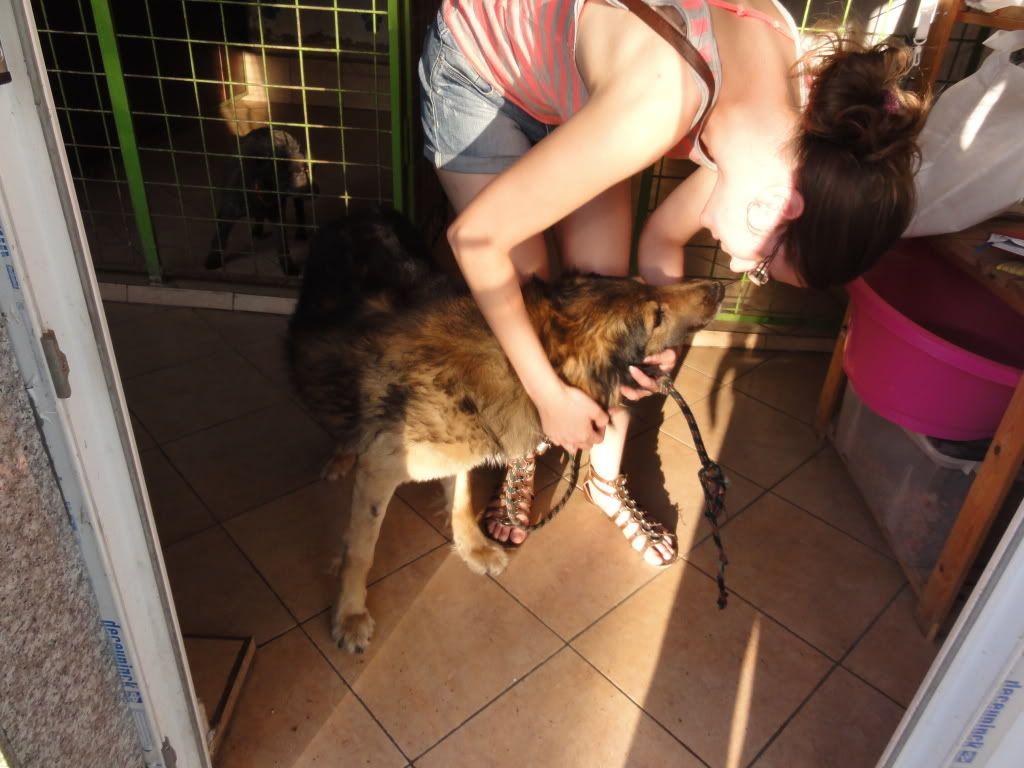 Ringo, mâle, né en 2010, type berger allemand , le chien miracle... ADOPTE ! DSC08287