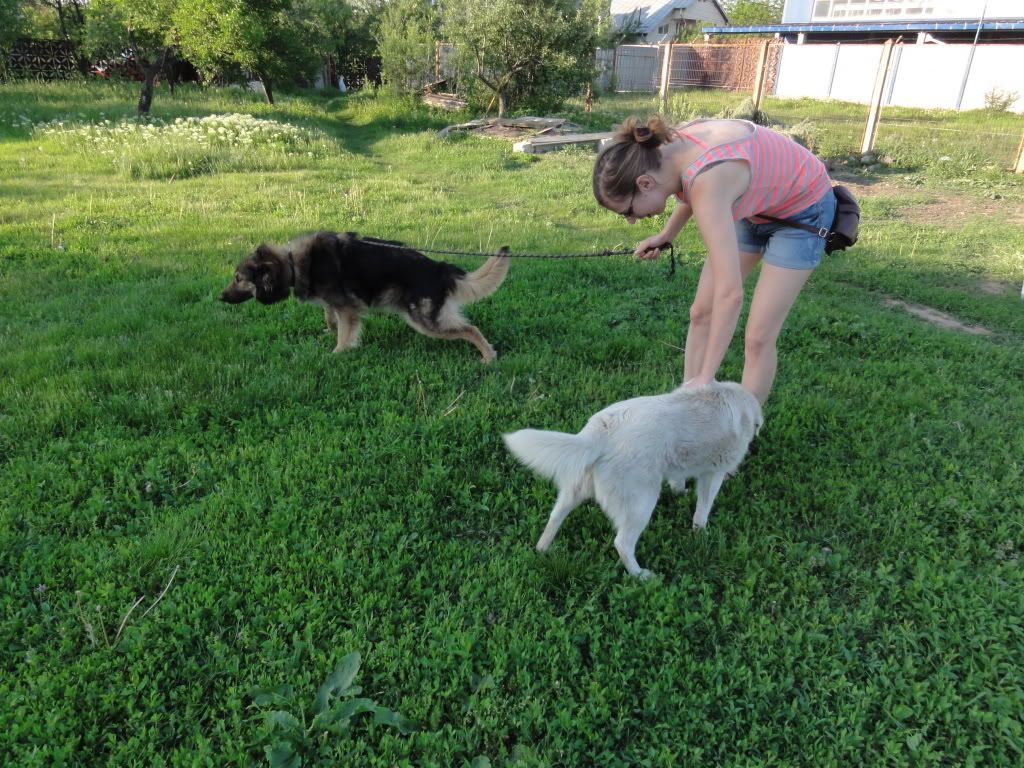 Ringo, mâle, né en 2010, type berger allemand , le chien miracle... ADOPTE ! DSC08288