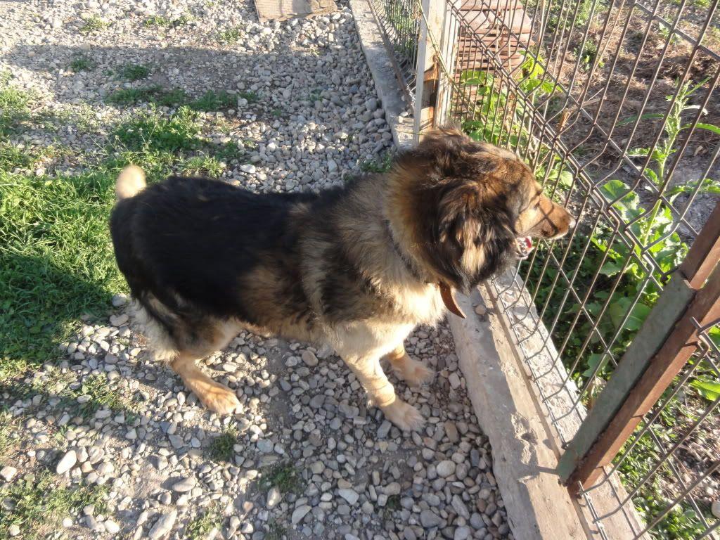 Ringo, mâle, né en 2010, type berger allemand , le chien miracle... ADOPTE ! DSC08293