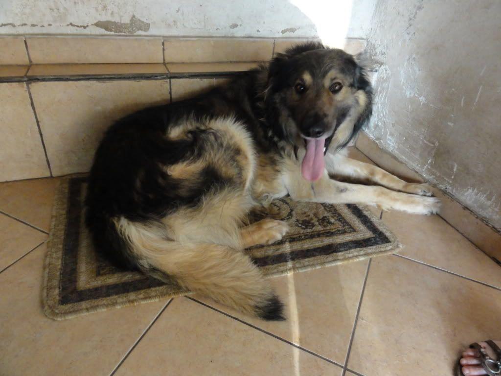 Ringo, mâle, né en 2010, type berger allemand , le chien miracle... ADOPTE ! DSC08295