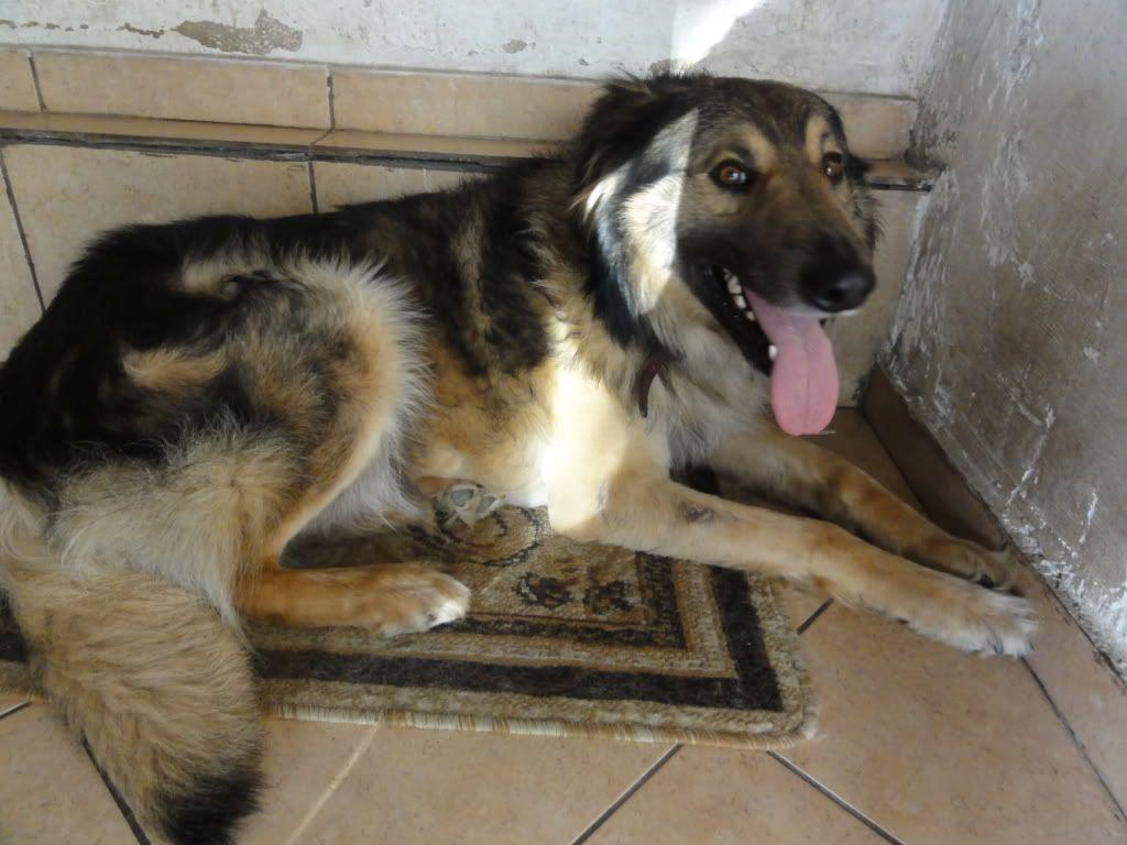 Ringo, mâle, né en 2010, type berger allemand , le chien miracle... ADOPTE ! DSC08298
