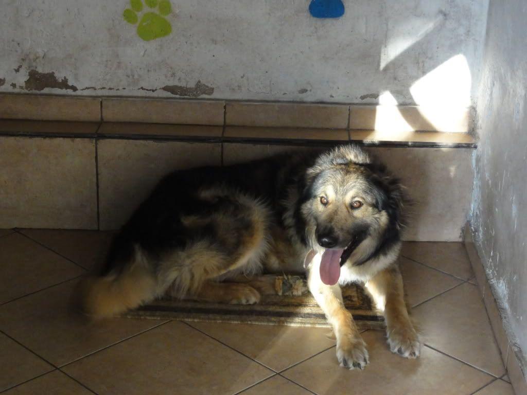Ringo, mâle, né en 2010, type berger allemand , le chien miracle... ADOPTE ! DSC08303