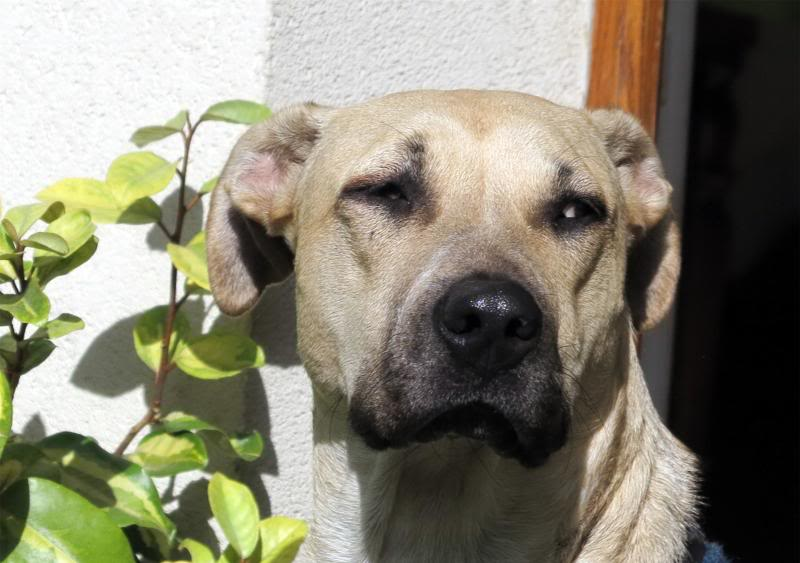Lila, adorable chienne croisée, née en octobre 2011 IMG_9751-1