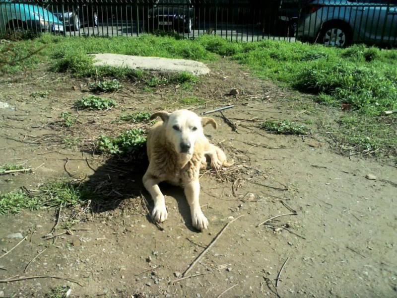 Cali, vielle chienne du quartier d'Irina, Monica et Avedis - décédée 1146577_674472885919808_260986268_n