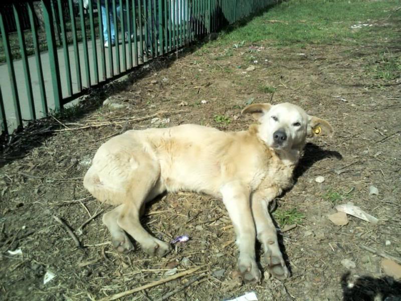 Cali, vielle chienne du quartier d'Irina, Monica et Avedis - décédée 1150351_674472459253184_1381960883_n