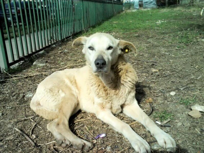Cali, vielle chienne du quartier d'Irina, Monica et Avedis - décédée 543160_674472702586493_475164786_n
