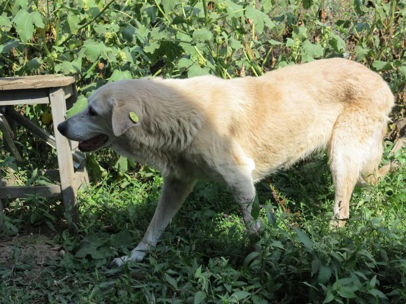 Cali, vielle chienne du quartier d'Irina, Monica et Avedis - décédée IMG_9431
